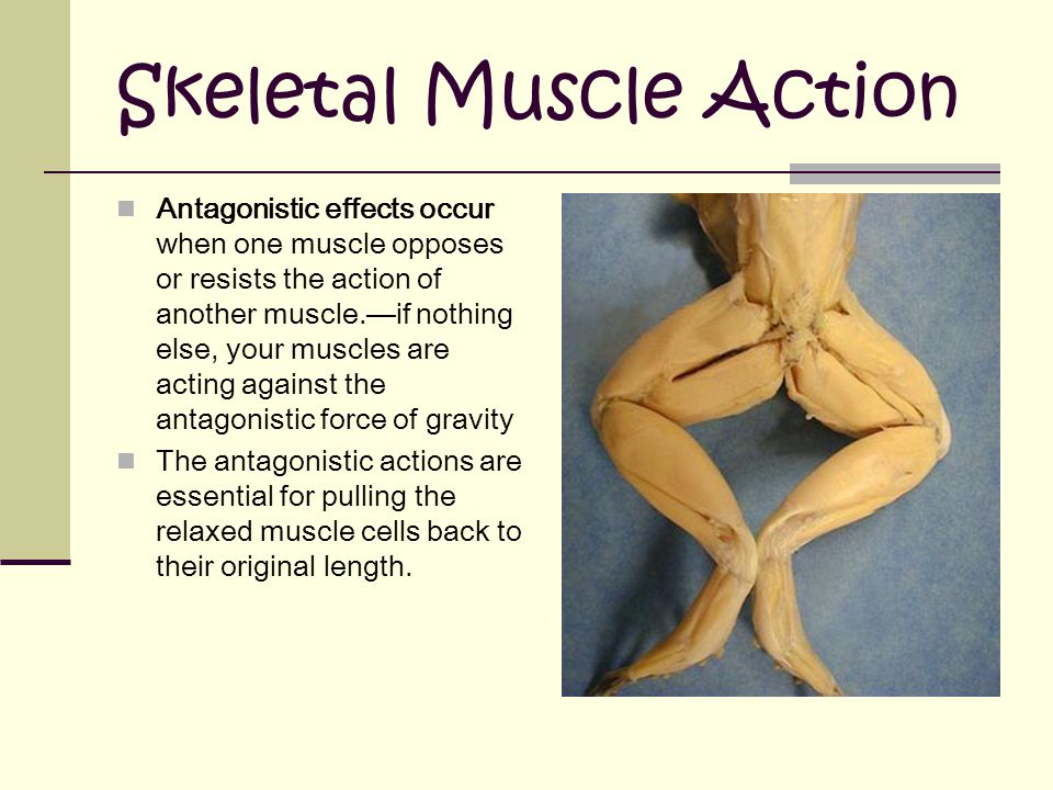 Skeletal Muscle Action Antagonistic effects occur when one muscle opposes or resists the action of another muscle.—if nothing else, your muscles are acting against the antagonistic force of gravity The antagonistic actions are essential for pulling the relaxed muscle cells back to their original length.