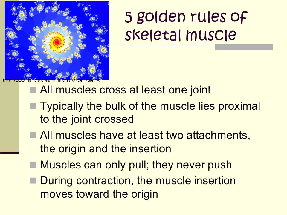 5 golden rules of skeletal muscle All muscles cross at least one joint Typically the bulk of the muscle lies proximal to the joint crossed All muscles have at least two attachments, the origin and the insertion Muscles can only pull; they never push During contraction, the muscle insertion moves toward the origin http://www.omnism.com/om/images/golden-rule.jpg