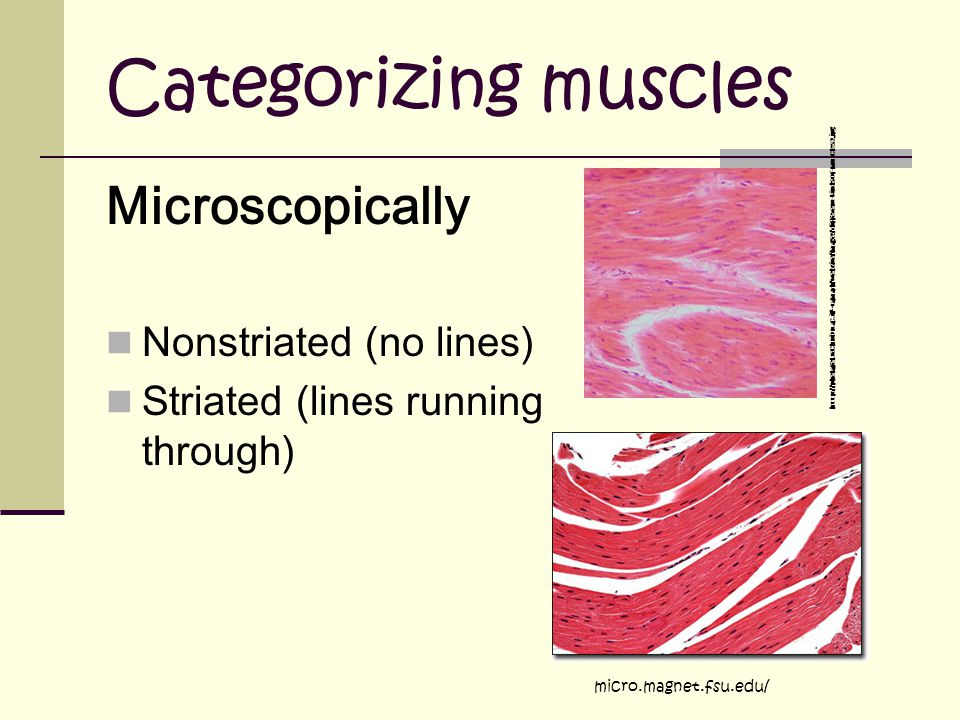 Categorizing muscles Microscopically Nonstriated (no lines) Striated (lines running through) micro.magnet.fsu.edu/ http://phelafel.technion.ac.il/~tamarh/website/images/different-kinds-of-muscles-2.jpg