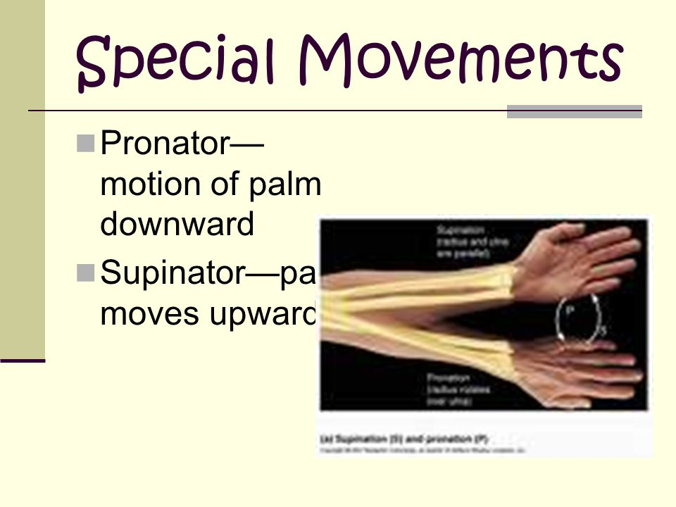 Special Movements Pronator— motion of palm downward Supinator—palm moves upward