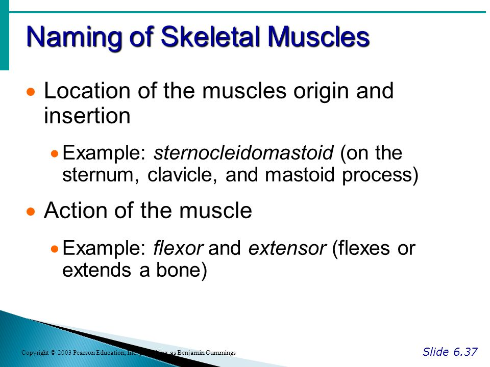 Naming of Skeletal Muscles Slide 6.37 Copyright © 2003 Pearson Education, Inc.