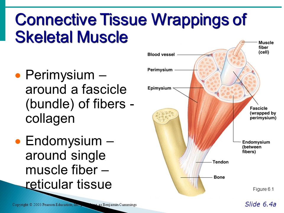Connective Tissue Wrappings of Skeletal Muscle Slide 6.4a Copyright © 2003 Pearson Education, Inc.