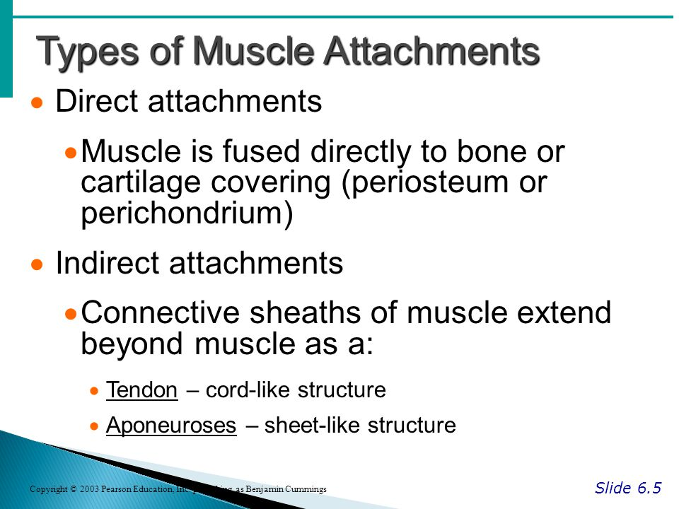 Types of Muscle Attachments Slide 6.5 Copyright © 2003 Pearson Education, Inc.