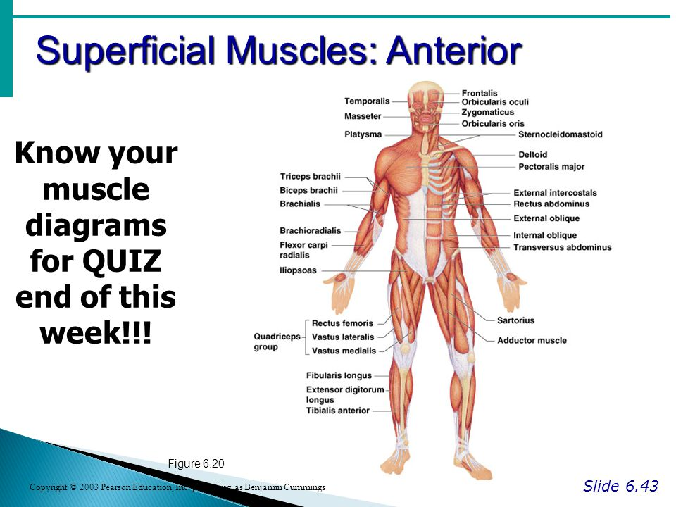 Superficial Muscles: Anterior Slide 6.43 Copyright © 2003 Pearson Education, Inc.