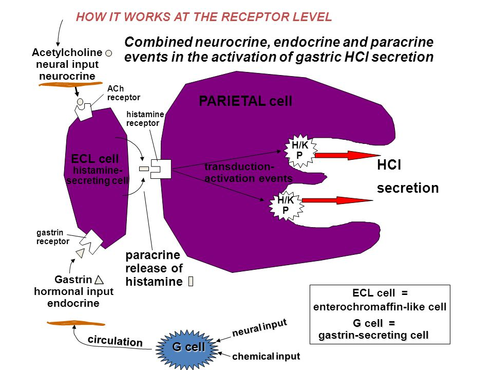 H/K P H/K P histamine- secreting cell neurocrine Acetylcholine neural input neurocrine endocrine Gastrin hormonal input endocrine PARIETAL cell paracrine paracrine release of histamine histamine receptor ACh receptor gastrin receptor transduction- activation events HCl secretion Combined neurocrine, endocrine and paracrine events in the activation of gastric HCl secretion ECL cell G cell circulation ECL cell = enterochromaffin-like cell G cell = gastrin-secreting cell HOW IT WORKS AT THE RECEPTOR LEVEL neural input chemical input