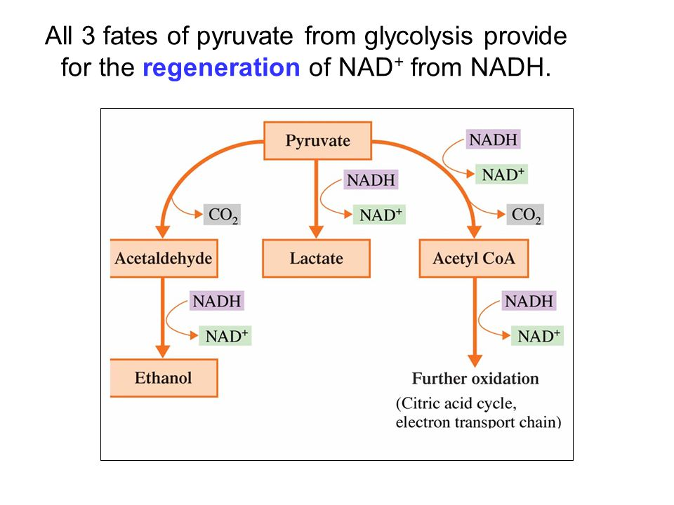 All 3 fates of pyruvate from glycolysis provide for the regeneration of NAD + from NADH.