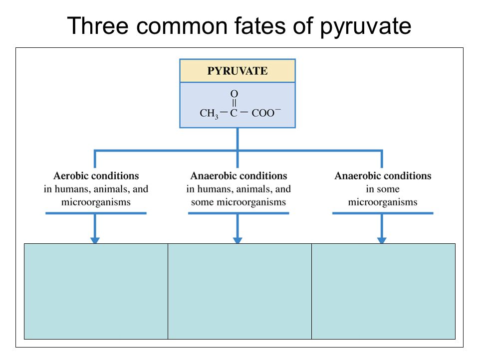 Three common fates of pyruvate