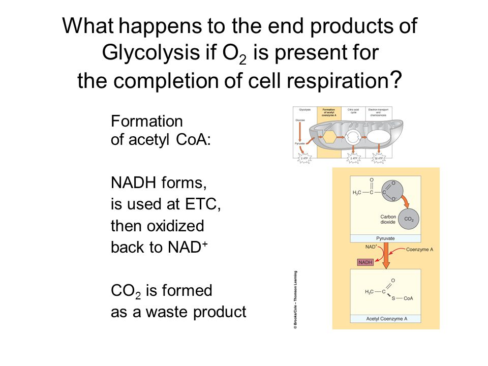 What happens to the end products of Glycolysis if O 2 is present for the completion of cell respiration ? Formation of acetyl CoA: NADH forms, is used