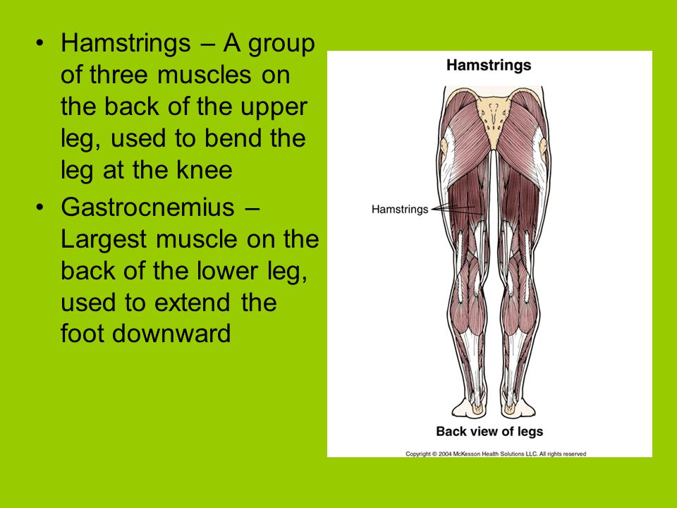 Hamstrings – A group of three muscles on the back of the upper leg, used to bend the leg at the knee Gastrocnemius – Largest muscle on the back of the