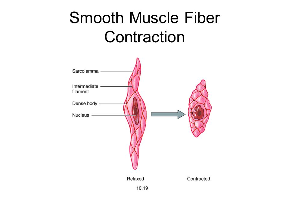 Smooth Muscle Fiber Contraction