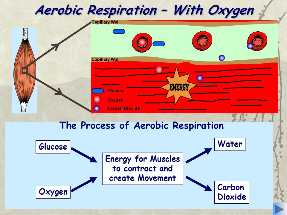 Aerobic Respiration – With Oxygen 1.Glucose and oxygen are transported to the working muscles by the blood. Aerobic respiration involves the release o
