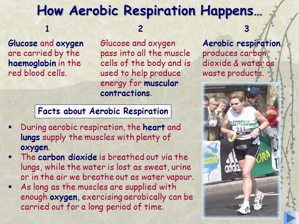 Facts about Aerobic Respiration How Aerobic Respiration Happens… Glucose and oxygen are carried by the haemoglobin in the red blood cells. Glucose and