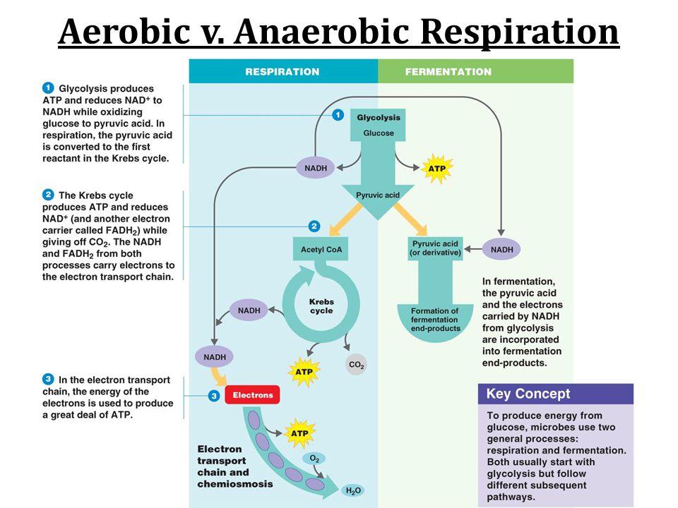 Aerobic v. Anaerobic Respiration