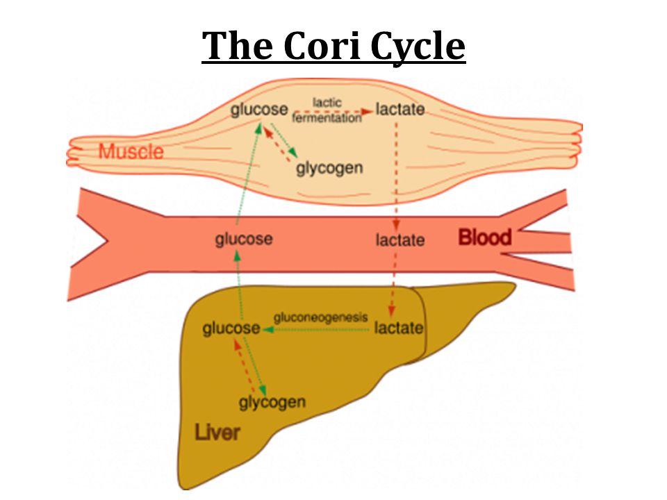 The Cori Cycle