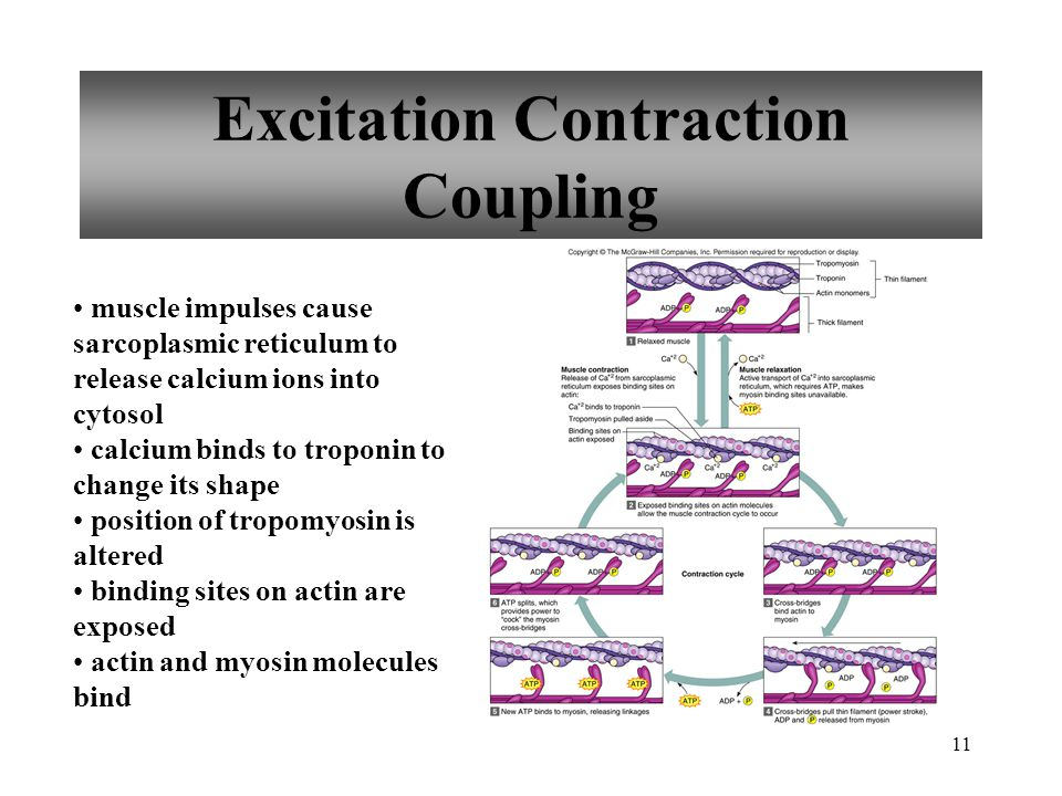 11 Excitation Contraction Coupling muscle impulses cause sarcoplasmic reticulum to release calcium ions into cytosol calcium binds to troponin to change its shape position of tropomyosin is altered binding sites on actin are exposed actin and myosin molecules bind