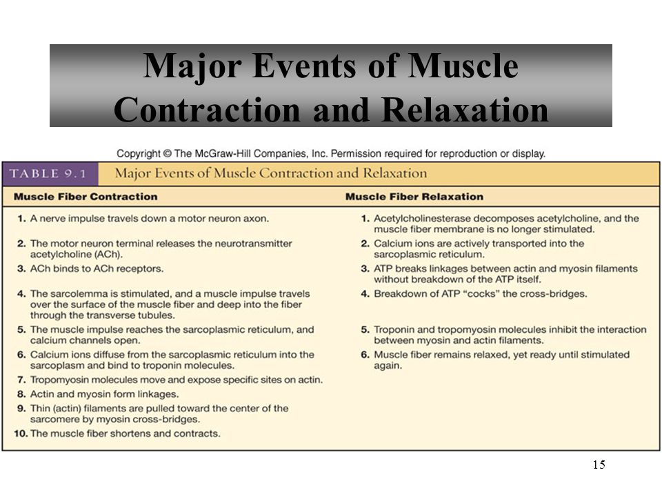 15 Major Events of Muscle Contraction and Relaxation