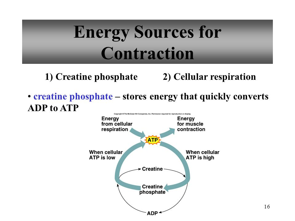 16 Energy Sources for Contraction creatine phosphate – stores energy that quickly converts ADP to ATP 1) Creatine phosphate2) Cellular respiration