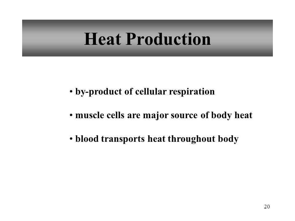 20 Heat Production by-product of cellular respiration muscle cells are major source of body heat blood transports heat throughout body