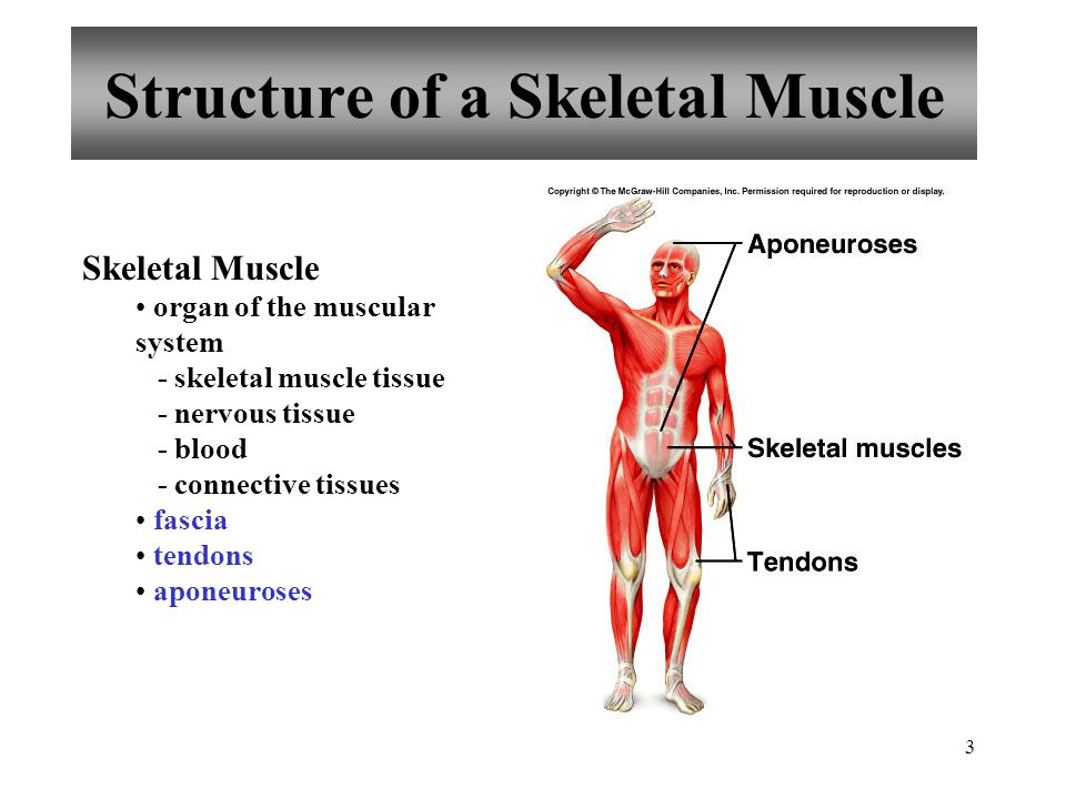 3 Structure of a Skeletal Muscle Skeletal Muscle organ of the muscular system - skeletal muscle tissue - nervous tissue - blood - connective tissues fascia tendons aponeuroses