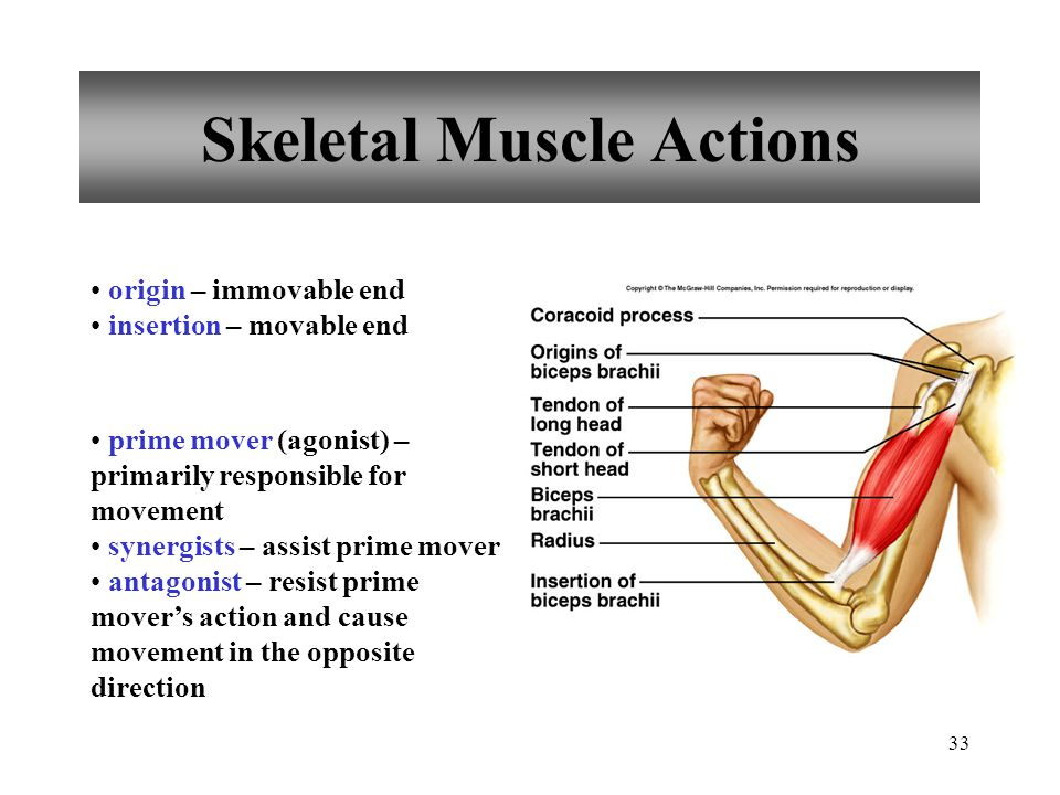 33 Skeletal Muscle Actions origin – immovable end insertion – movable end prime mover (agonist) – primarily responsible for movement synergists – assist prime mover antagonist – resist prime mover's action and cause movement in the opposite direction