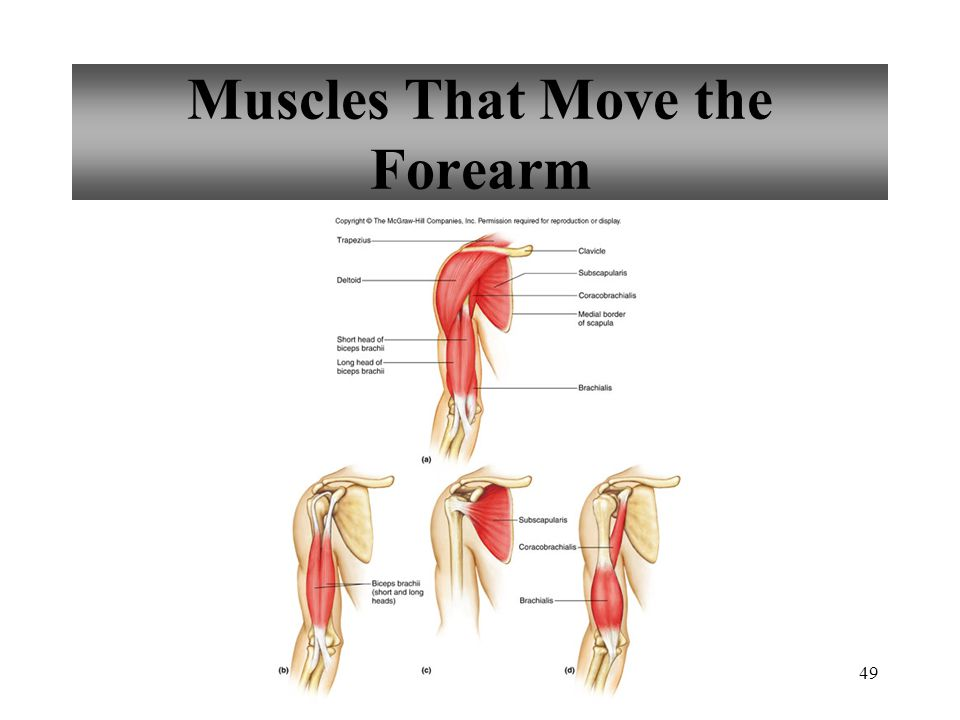 49 Muscles That Move the Forearm