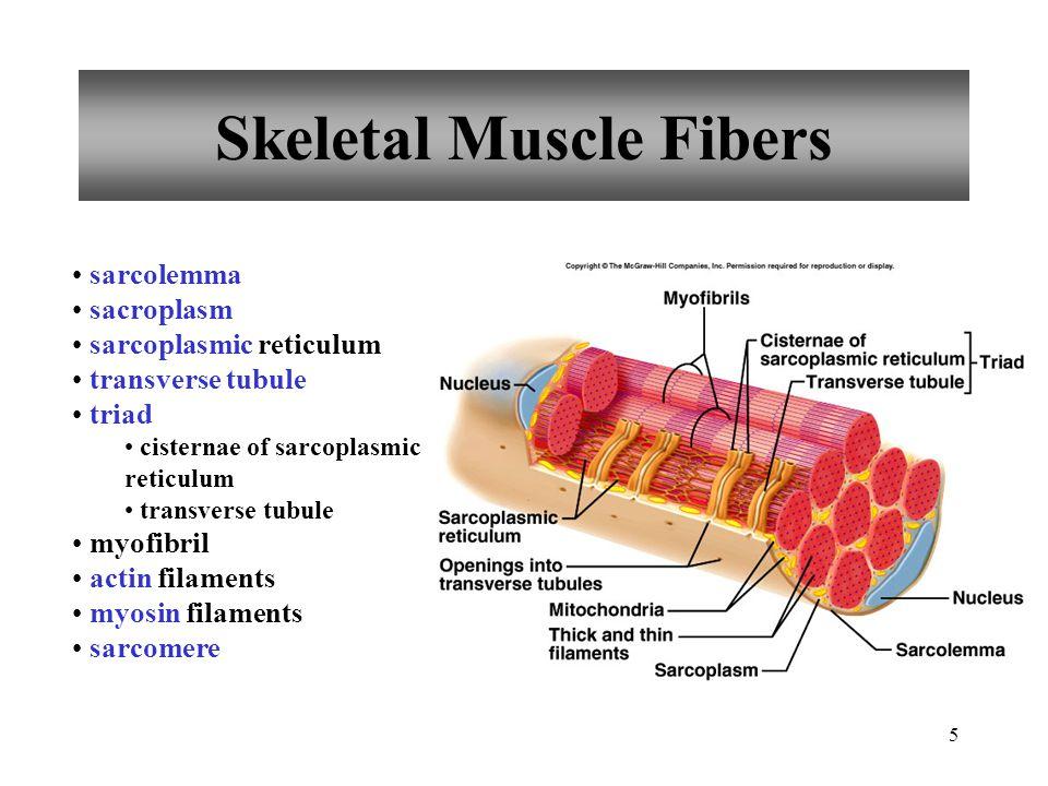 5 Skeletal Muscle Fibers sarcolemma sacroplasm sarcoplasmic reticulum transverse tubule triad cisternae of sarcoplasmic reticulum transverse tubule my