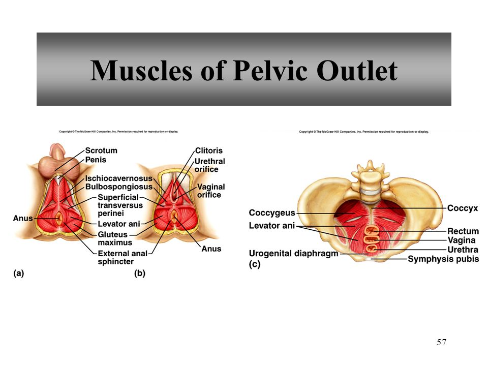 57 Muscles of Pelvic Outlet