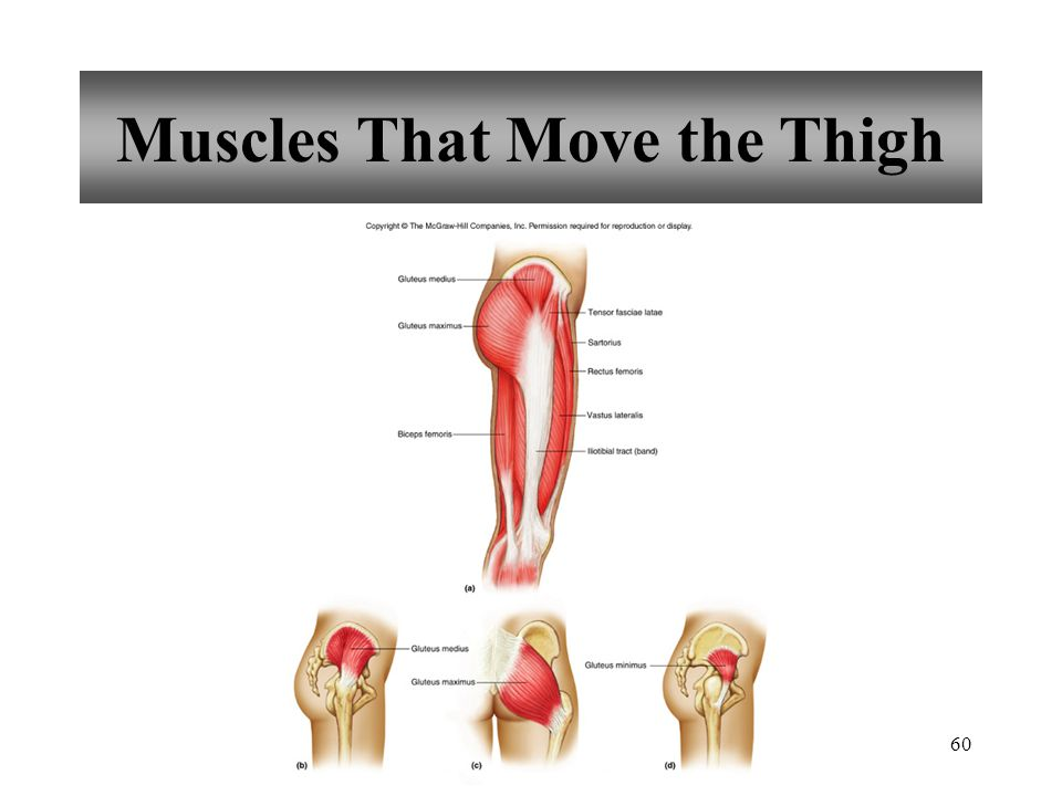 60 Muscles That Move the Thigh