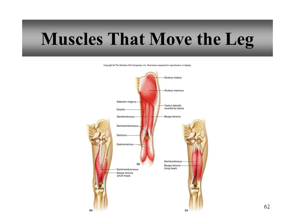 62 Muscles That Move the Leg
