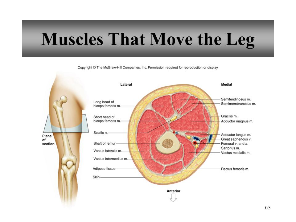 63 Muscles That Move the Leg
