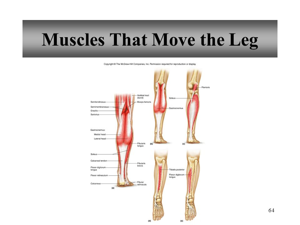 64 Muscles That Move the Leg