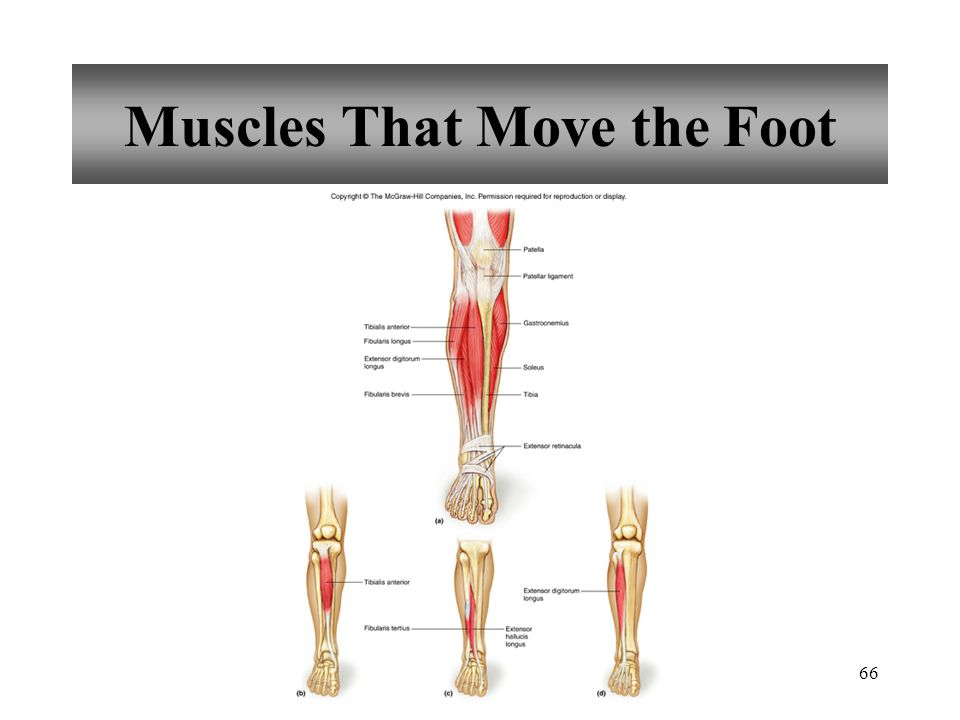 66 Muscles That Move the Foot