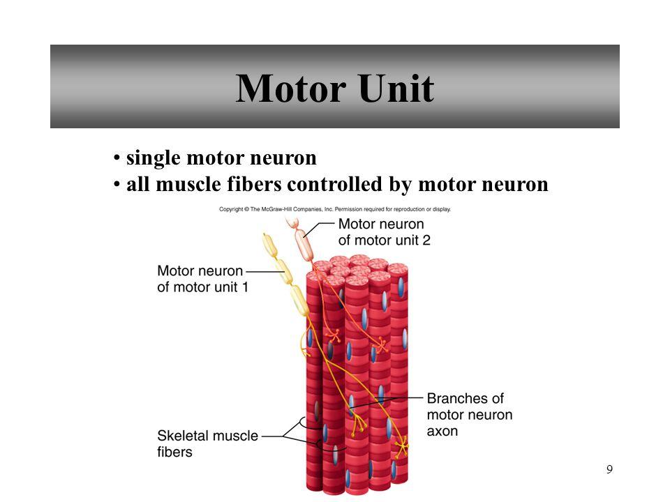 9 Motor Unit single motor neuron all muscle fibers controlled by motor neuron