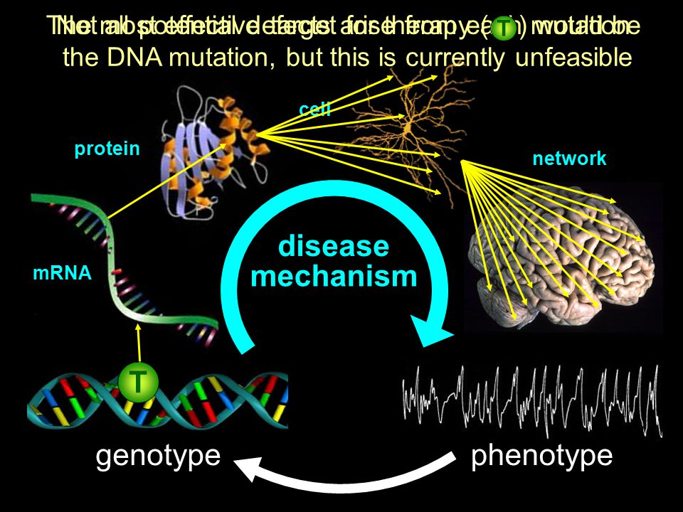 cell network genotypephenotype Not all potential defects arise from each mutation mRNA protein mechanism disease The most effective target for therapy ( ) would be the DNA mutation, but this is currently unfeasible T T