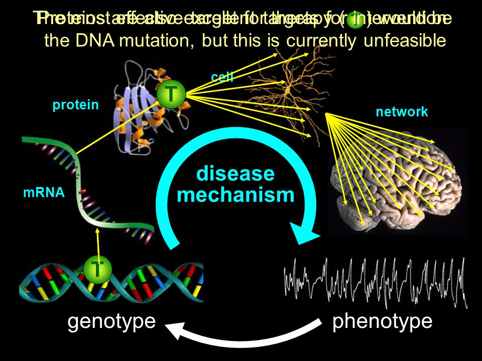 cell network genotypephenotype mRNA protein mechanism disease The most effective target for therapy ( ) would be the DNA mutation, but this is currently unfeasible T T T Proteins are also excellent targets for intervention