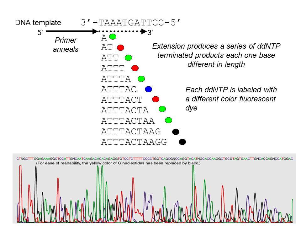 3'-TAAATGATTCC-5' ATT ATTTACTAA ATTTACT ATTTAC ATTT ATTTA AT ATTTACTA ATTTACTAAG ATTTACTAAGG A DNA template 5'3' Primer anneals Extension produces a series of ddNTP terminated products each one base different in length Each ddNTP is labeled with a different color fluorescent dye