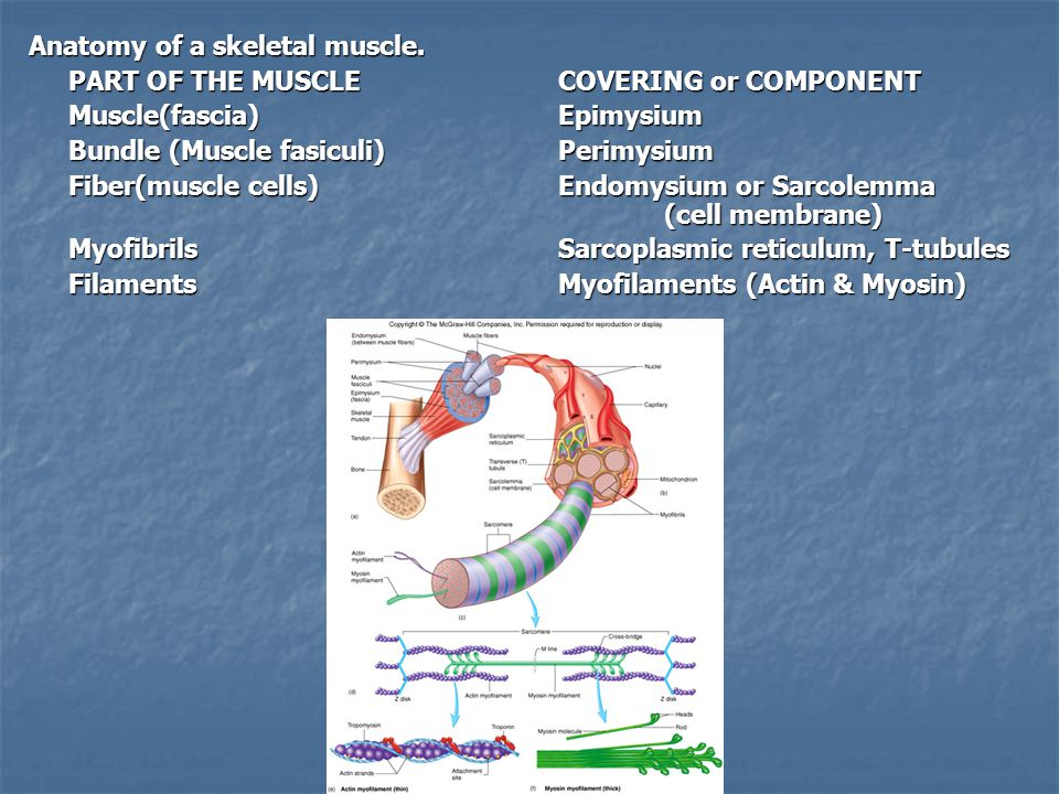 Muscle Twitch – Muscle contraction in response to a stimuli 1.