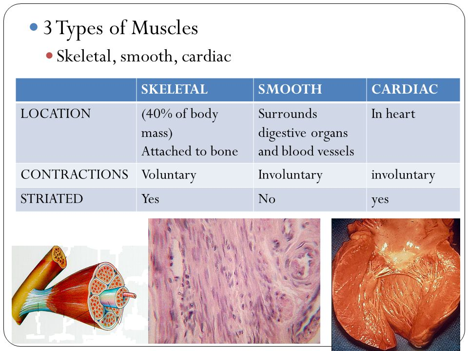 3 Types of Muscles Skeletal, smooth, cardiac SKELETALSMOOTHCARDIAC LOCATION(40% of body mass) Attached to bone Surrounds digestive organs and blood ve