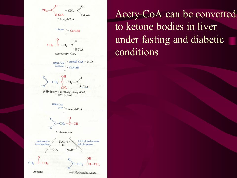 acetyl-CoAsFor ketone body formation, first two acetyl-CoAs condense to form acetoacetyl-CoA catalyzed by thiolase (the reverse reaction of the one it