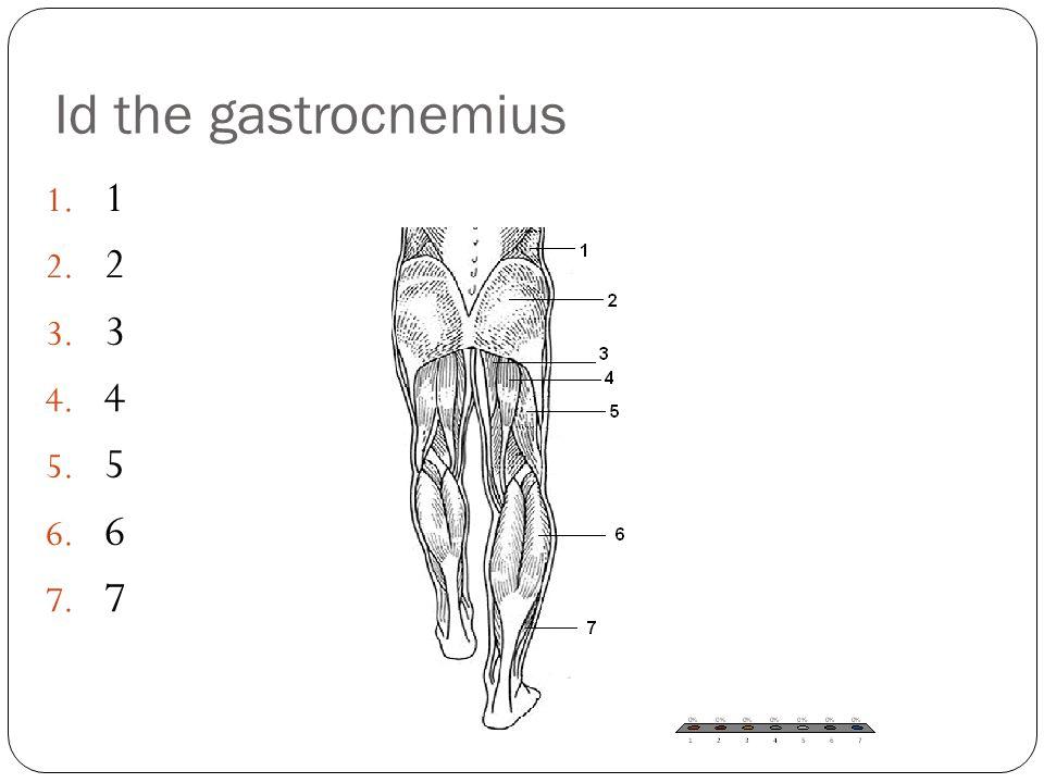 Id the gastrocnemius 1. 1 2. 2 3. 3 4. 4 5. 5 6. 6 7. 7