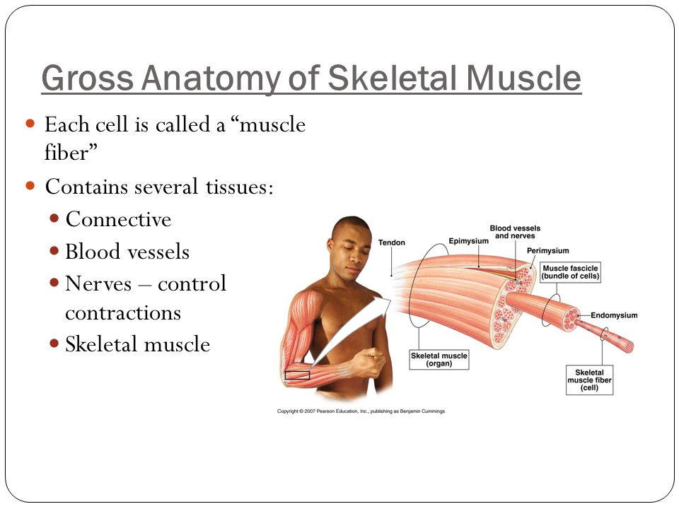 "Gross Anatomy of Skeletal Muscle Each cell is called a ""muscle fiber"" Contains several tissues: Connective Blood vessels Nerves – control contractions"