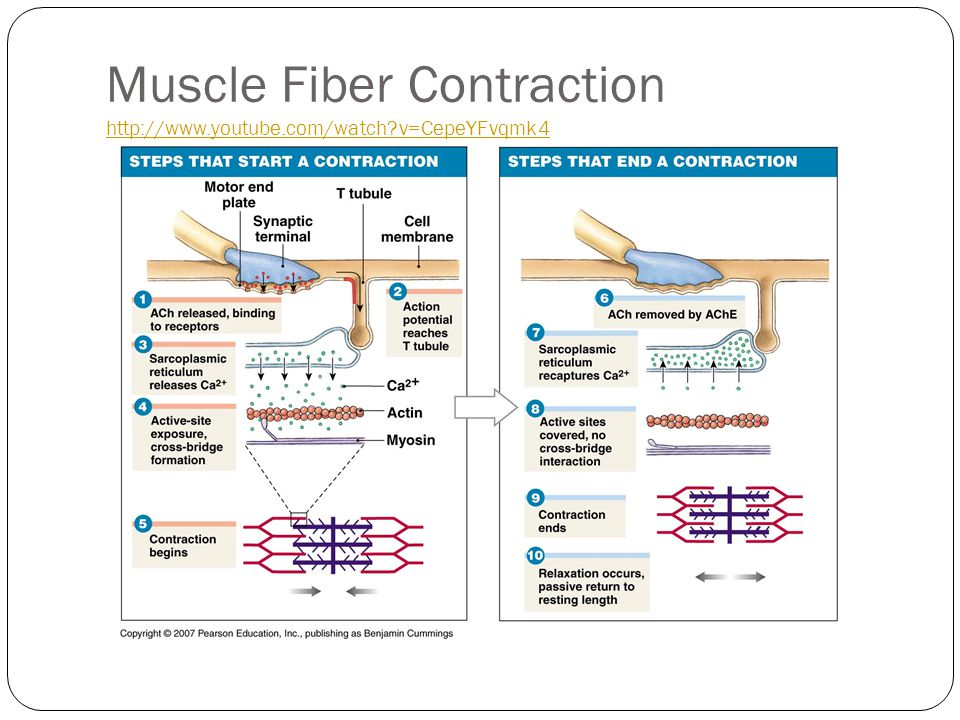 Muscle Fiber Contraction http://www.youtube.com/watch?v=CepeYFvqmk4 http://www.youtube.com/watch?v=CepeYFvqmk4