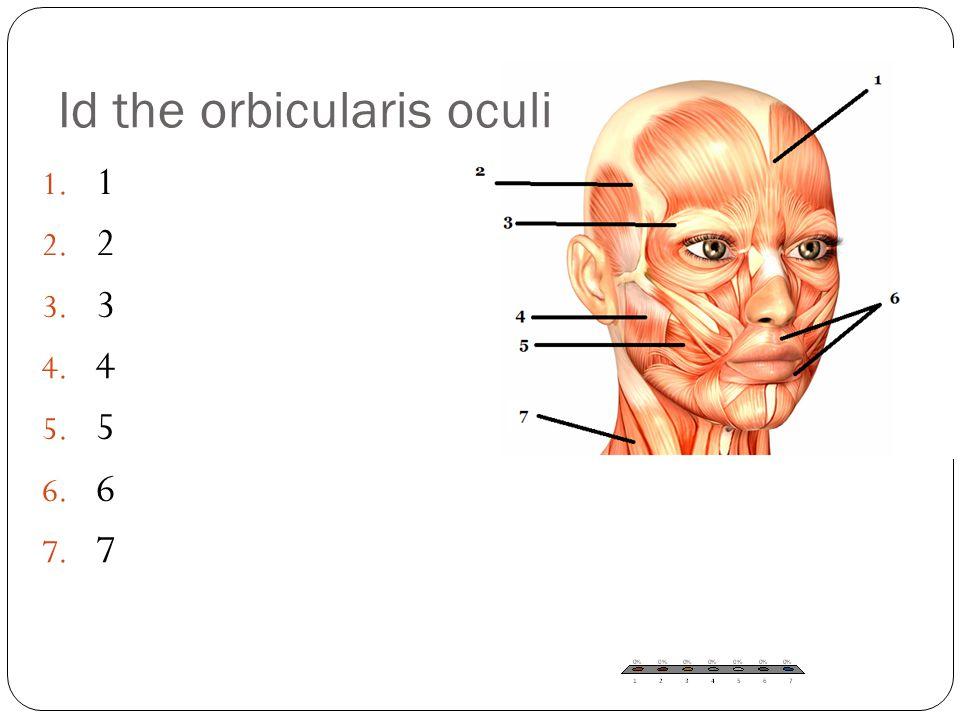 1. 1 2. 2 3. 3 4. 4 5. 5 6. 6 7. 7 Id the orbicularis oculi