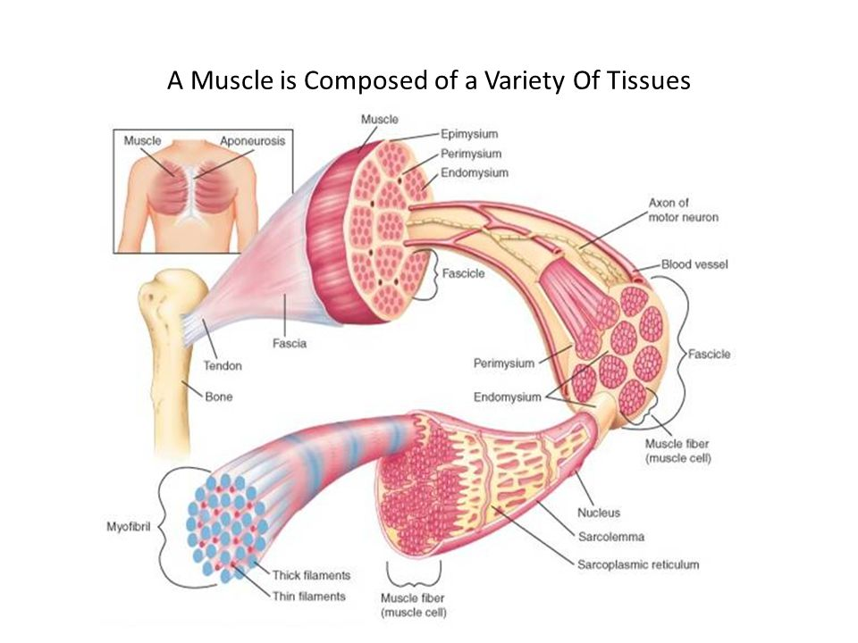 The force that a muscle develops depends on: 1.The frequency at which individual muscle fibers are stimulated 2.How many fibers take part in the overall contraction - RECRUITMENT