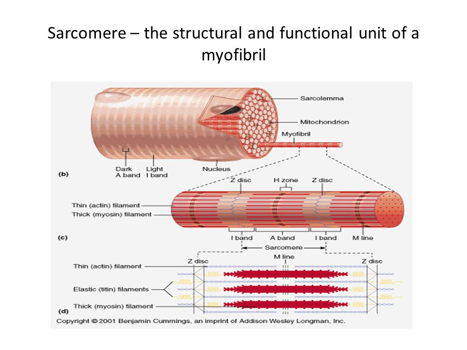 Sarcomere – the structural and functional unit of a myofibril