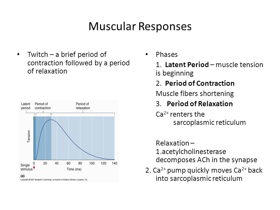 Muscular Responses Twitch – a brief period of contraction followed by a period of relaxation Phases 1.