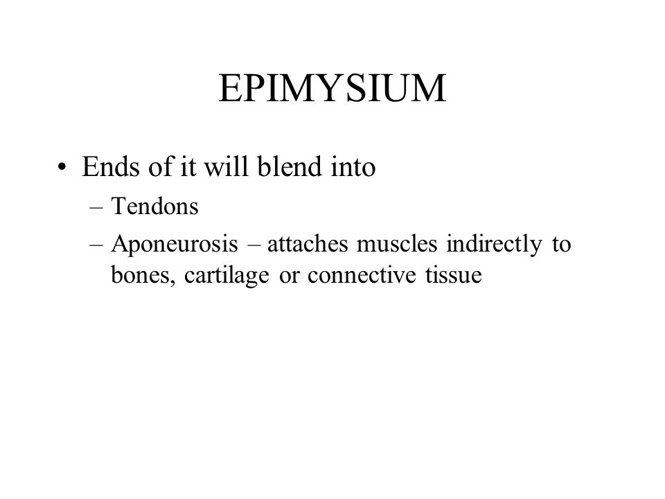EPIMYSIUM Ends of it will blend into –Tendons –Aponeurosis – attaches muscles indirectly to bones, cartilage or connective tissue