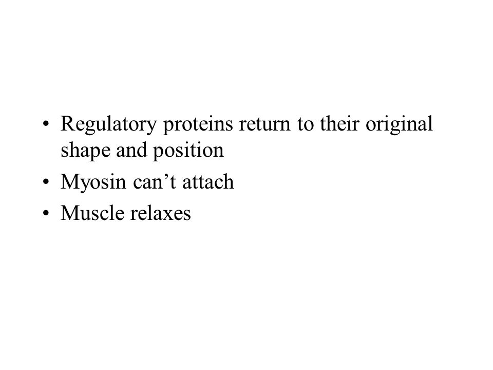 Regulatory proteins return to their original shape and position Myosin can't attach Muscle relaxes