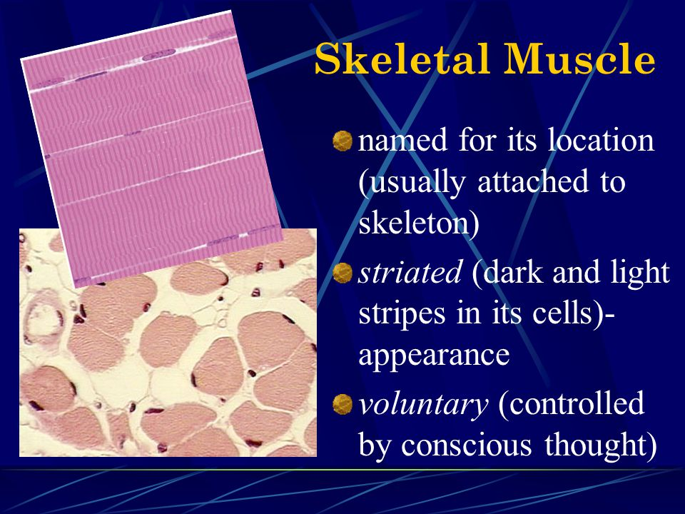 Skeletal Muscle named for its location (usually attached to skeleton) striated (dark and light stripes in its cells)- appearance voluntary (controlled