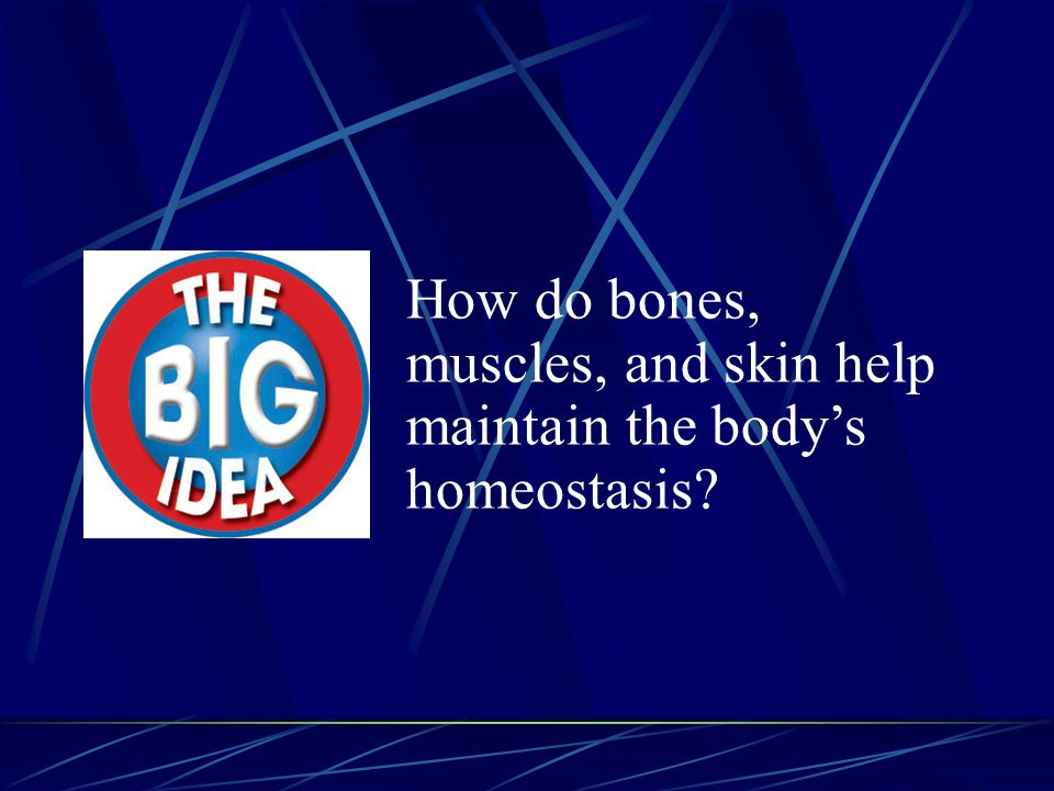 How do bones, muscles, and skin help maintain the body's homeostasis?